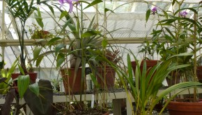 Orchids in a greenhouse at Dublin Botanical Gardens